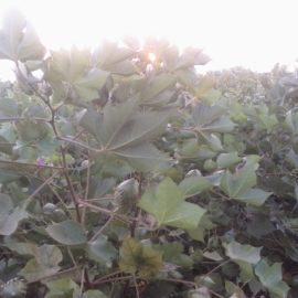 Επίπεδα ρεκόρ στην κατανάλωση βαμβακιού προβλέπει το ICAC για την περίοδο 2019/2020